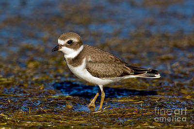 Us Wildllife Photograph - Semipalmated Plover by Anthony Mercieca