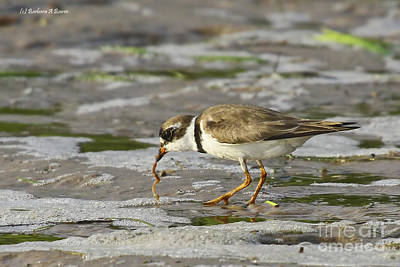 Photograph - Semipalmated Plover by Barbara Bowen