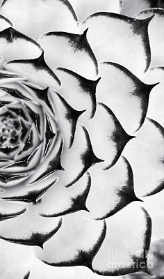 Hen Photograph - Sempervivum Pattern Monochrome by Tim Gainey