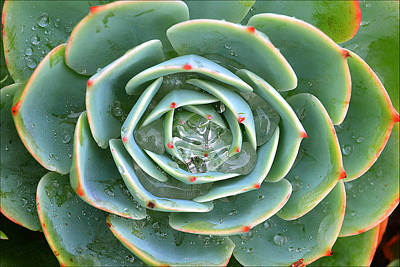 Photograph - Sempervivum Tectorum by Jon Exley