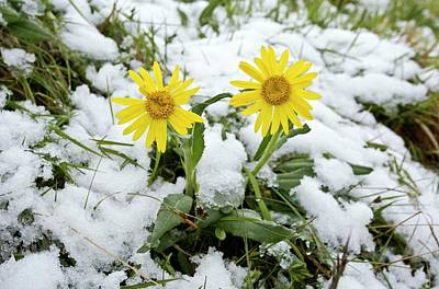 Piano Photograph - Senecio Doronicum Gerardii In Snow by Bob Gibbons