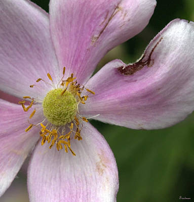 Photograph - Senior Purple Anemone by Michael Friedman