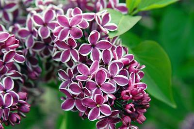 Sensation Lilac Art Print