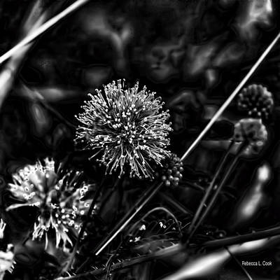 Photograph - Sensitive Briar Schrankia Nuttalii  by Bellesouth Studio