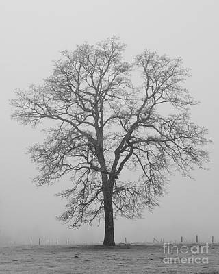 Photograph - Sentry Oak by Chuck Flewelling