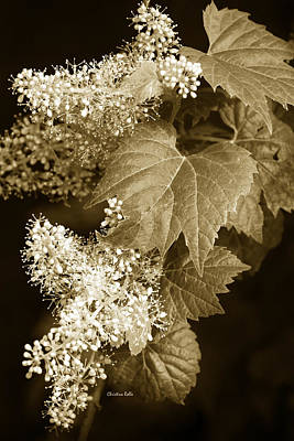 Photograph - Sepia Flower Vine by Christina Rollo