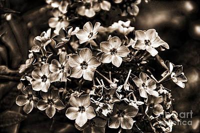 Photograph - Sepia Flowerhead by Brenda Kean