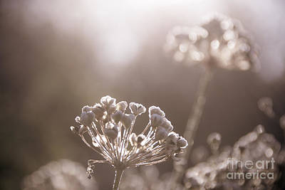 Photograph - Sepia Frost by Cheryl Baxter
