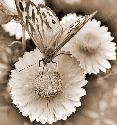Sepia Monarch Butterfly On Paper Daisy Art Print by Patrick OConnell