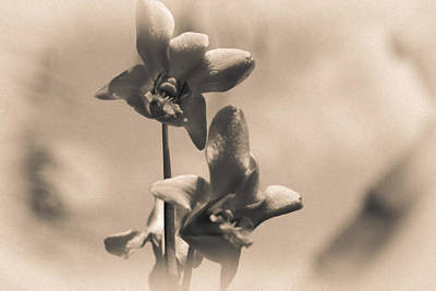 Dendrobium Photograph - Sepia Orchids by Georgia Fowler