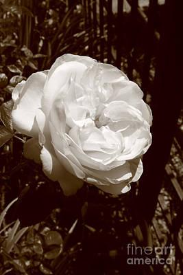 Photograph - Sepia Rose by Aidan Moran