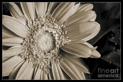 Photograph - Sepia Tone Daisy 8043.01 by M K Miller