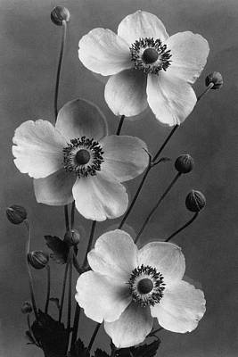 Photograph - September Charm Anemones by J. Horace McFarland