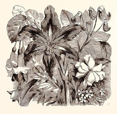 September. Fuschia Duchess Of Lancaster Art Print