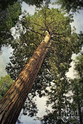 Digital Art - Sequoia by Peggy Hughes