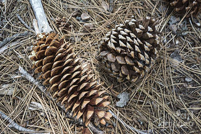 Sequoia Pine Cones Original by Ruth H Curtis