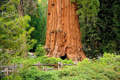 Photograph - Sequoia Tree Base by Jane Girardot