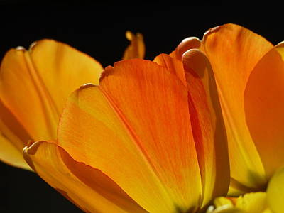 Backlit Tulip Photograph - Serenade by Connie Handscomb