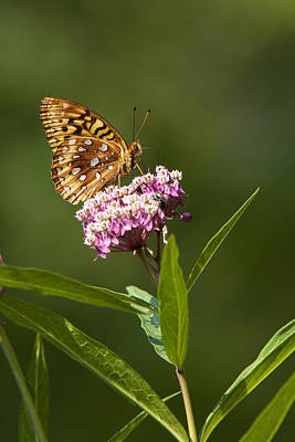 Photograph - Serendipity Butterfly by Christina Rollo