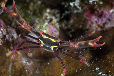 Photograph - Serenes Black Coral Crab In North by Brandi Mueller