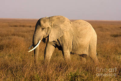 Photograph - Serengeti Elephant by Chris Scroggins