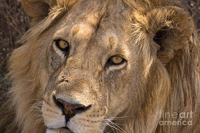 Photograph - Serengeti Lion by Chris Scroggins