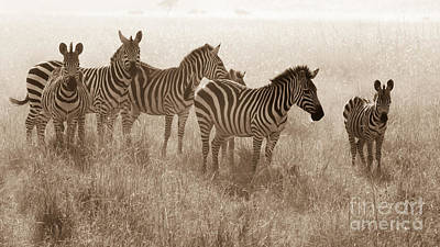 Photograph - Serengeti Zebras by Chris Scroggins