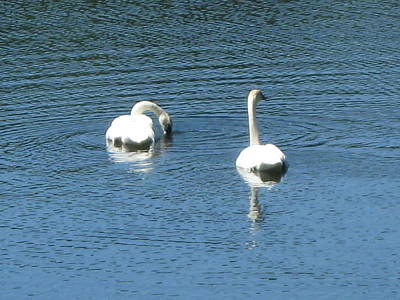 Photograph - Serenity Of Swans by Bill Woodstock