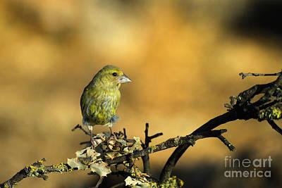 Animals Photograph - Serin by Guido Montanes Castillo