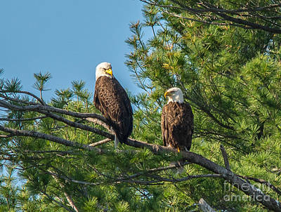 Photograph - Serious Bald Eagles by Cheryl Baxter