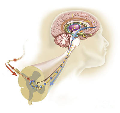 Lobe Digital Art - Serotonin Released In The Brain Travels by TriFocal Communications