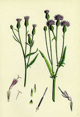Serratula Tinctoria Common Saw-wort Art Print by English School