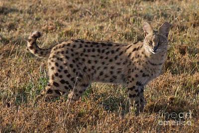On Trend Breakfast - Serval Cat 2 by Chris Scroggins