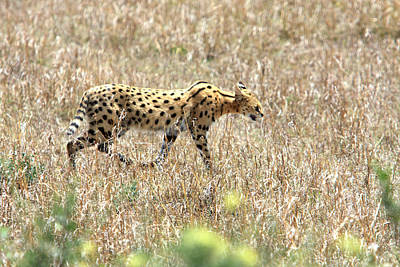Photograph - Serval Cat - Kenya by Aidan Moran