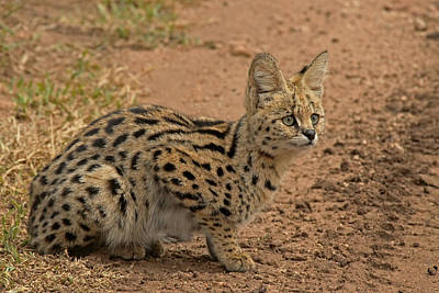 Photograph - Serval Wild Cat by Tony Murtagh