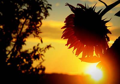 Art Print featuring the photograph Setting Sunflower by Aurelio Zucco