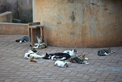 Photograph - Eight Cats In The Drum Maker's Yard by Ronda Broatch