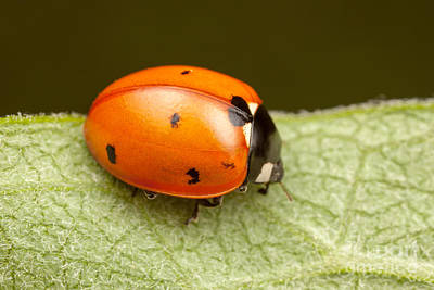 Photograph - Seven-spotted Lady Beetle I by Clarence Holmes