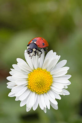 Seven-spotted Ladybird On Common Daisy Print by Konrad Wothe