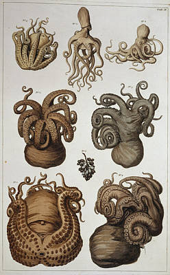 Octopuses Photograph - Seven Squid And Octopuses by Natural History Museum, London