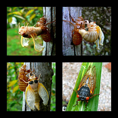 Photograph - Seventeen-year Cicada by Jean Wright