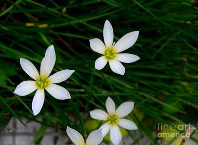 Photograph - Several White Rain Lily Flowers  by Imran Ahmed