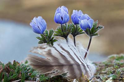 Pasque Flower Photograph - Seward Peninsula, Alaska, Arctic by Ken Archer