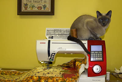 Tonkinese Cat Photograph - Sewing Supervisor by Sally Weigand