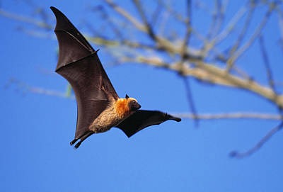 Seychelles Flying Fox Art Print