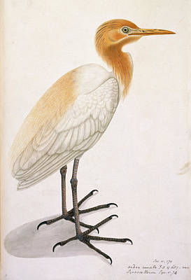 Categories Photograph - Sguacco Heron by British Library