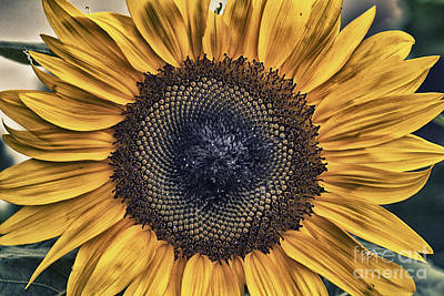 Photograph - Shabby Chic Sunflower by Cris Hayes