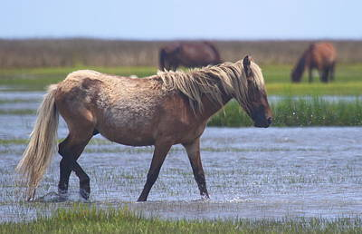 Lucille Ball - Shackleford Banks Ponies 2014 11 by Cathy Lindsey