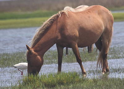 Wildlife Photograph - Shackleford Banks Ponies 2014 17 by Cathy Lindsey