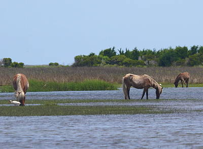 Ibis Photograph - Shackleford Ponies 2014 8 by Cathy Lindsey